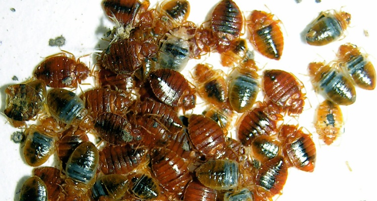 lots-of-bed-bugs
